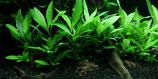 Hygrophila corymbosa 'Siamensis 53B' mini / Thailändischer Wasserfreund