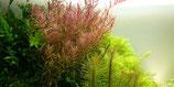 Rotala rotundifolia mini / Rundblättrige Rotala