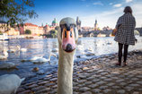 PRAGER SCHWAN BY OLIOPTIC-FOTO-PUZZLE 1.000 TEILE