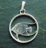 Bermuda Queen-Angel-Fish