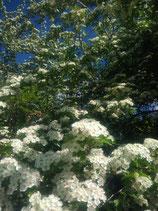 Eau florale d'Aubépine