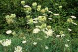 Eau Florale de Carotte Sauvage