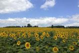 Sonnenblumen, St.