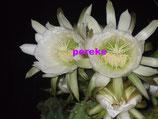trichocereus pachanoi  -san pedro