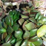 Anacampseros rufescens  - tallo de esqueje  de planta madre aclimatada