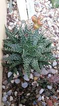 Aloe haworthoides x descoingsii