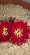 echinopsis hybride -Schick - hybride seismic shimmer