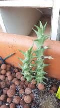 Orbea laticorona    x 1tallo