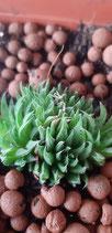 Haworthia marumiana baby