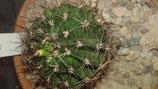 4 Echinopsis hybride ag 3593