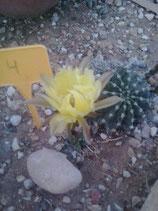echinopsis  4  flor amarillo palido 2 a 3cm