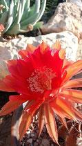 14 Echinopsis multihibrido grus -hijuelo
