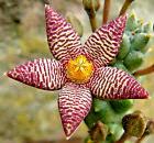 Piaranthus framesii  -tallo