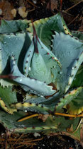 Agave potatorum tradewins   -