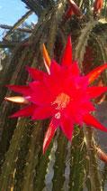 APOROCACTUS          hibrido rojo -fusia    -Ackermanii x Flagelliformis
