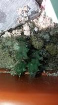 Orbea variegata atrata   DE 5CM    -NOVEDAD