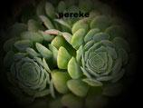 aeonium canariense hijuelos -sacado de planta madre