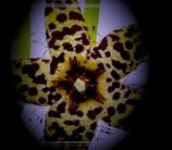 Caralluma alba castanea    -tallo de 5cm