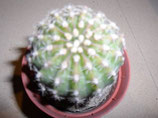 122 echinopsis sp. flor rosa c.  bolita de 2 a 3 cm