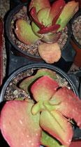 cotyledon macrantha - rojizo  novedad