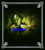 Crassula rogersii  - tallo de 8cm