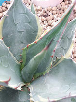 Agave parrasana marginata variegated   - de 15cm