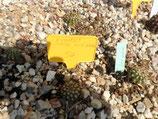 """50 echinopsis hibrido """"rick rack""""    1 hijuelo 5cm"""