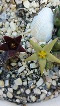 Piaranthus decorus y piaranthus geminathus yellow flower  2 unidades -tallo