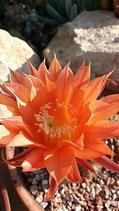 13 Echinopsis hybriid Echinopsis grus 13