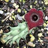 Huernia keniensis hybrid -tallo