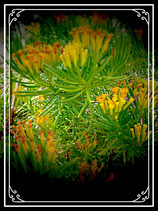 senecio himalaya   tallo 8cm   - Senecio barbertonicus