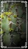 Euphorbia caerulescens -tallo 8cm