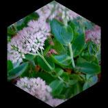 sedum herbsffreude  tallo de 8cm