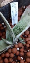 Gasteria rawlinsonii baby 2cm