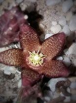 Orbea woodii x variegata  - tallo