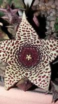 Orbea verrucosa   -TALLO DE 7CM    A 8CM