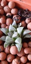 Haworthia mirabilis v. Paradoxa