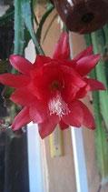 """epiphyllum hibrido   """"rojo sangre""""   Epiphyllum akermanii"""