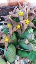 Piaranthus geminatus -dispiralis  tallo