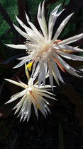 epiphyllum oxypetalum -tallo