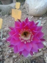 echinopsis  hibrido  ( romance )