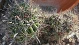 Ferocactus peninsulae cristata   de 20cm 2 crestas