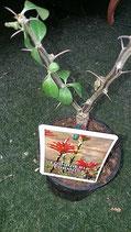 Fouquieria formosa  - 2tallo planta madre