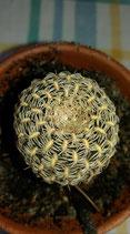 sulcorebutia albissima hs 106