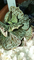 Kalanchoe rombopilosa  - matizado- tallo 5cm