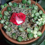 Senecio rowleyanus variegated