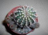 123 echinopsis sp jl 07 . bolita cactus de 3cm