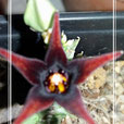 orbea semitubiflora  - 1 tallo