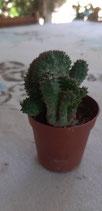 Euphorbia obesa 2 tricepala CRISTATA