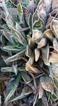 Gastería liliputiana  -esqueje de 5cm